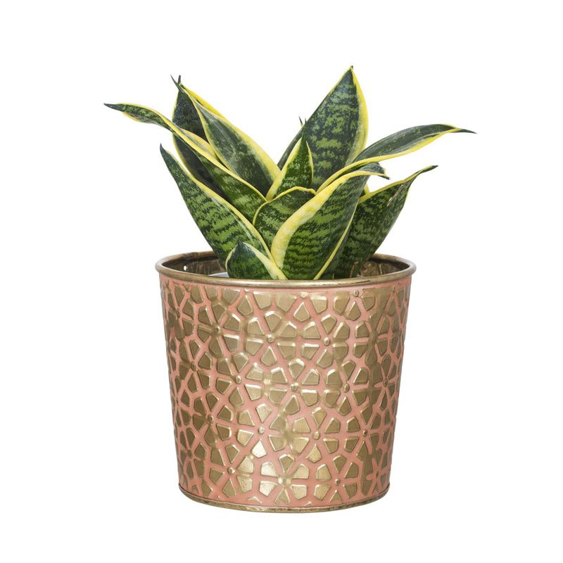 Snake Plant (Vipers bowstring hemp)