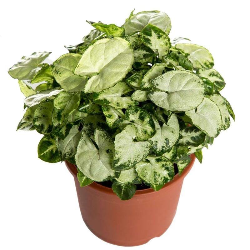 Chilli Syngonium Plant with Fibre Pot