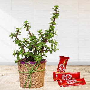 Jade Plant With Kitkat
