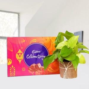 Money Plant with Cadbury Celebration