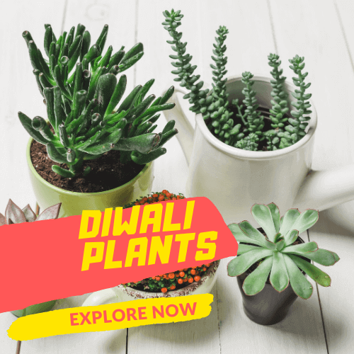 Plant Gifts For Diwali